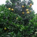 广西桂林阳朔金橘与沙田柚、夏橙称阳朔六大名果