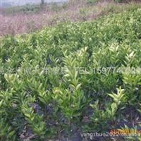大量供应广西桂林阳朔优质2011血橙苗