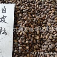 供应白皮松种子,白皮松种子价格,批发白皮松种子