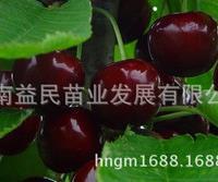盆栽果树苗正宗南方甜樱桃嫁接苗紫珍珠樱桃苗蜜糖樱桃种苗