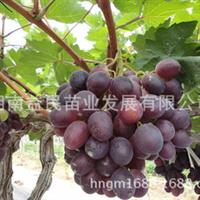 大量供应果树苗木湖南果苗批发嫁接葡萄种苗巨玫瑰葡萄苗