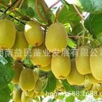 猕猴桃果树苗正宗新西兰黄金奇异果2号黄金果猕猴桃苗易栽培