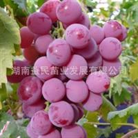 湖南果苗嫁接果树苗木葡萄种苗早熟玫瑰香葡萄苗果大味甜