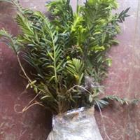本场供应优质扦插苗——红豆杉
