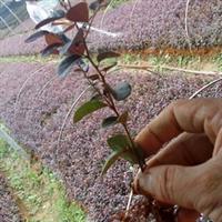 l商家供应优质的红花继木