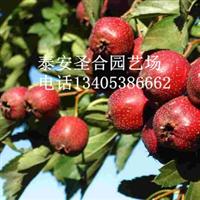 供应山楂树苗2013年山楂苗新品种粉口大金星