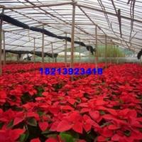 基地批发绿化植物观叶植物一品红盆花盆景