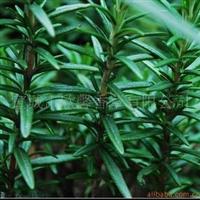 供应香草种苗——迷迭香