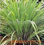供应香草种苗——香茅种苗