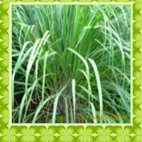 供应柠檬草精油单方精油纯天然