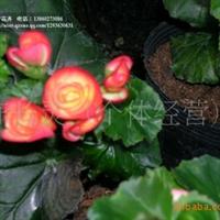 供应:福建花卉永福花卉青青花卉园艺室内盆景球根秋海棠批发