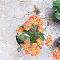 供应:福建花卉永福花卉批发【长寿花】