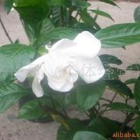 供应:福建花卉南方花卉批发室内盘景【七里香】