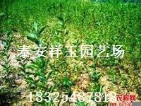 大量低价供应樱桃树苗山东樱桃苗价格优质樱桃苗基地