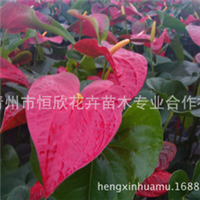 大型花卉生产基地平价批发优质红掌
