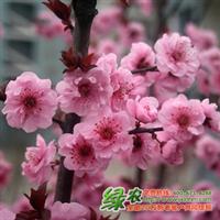 美人梅梅花里唯一红叶的彩色绿化树种江西红叶美人梅小苗供应
