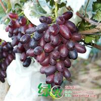 正宗紫皇无核葡萄进口葡萄品种早熟葡萄盆栽葡萄包成活满包邮