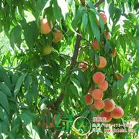 正宗万州冬贡桃桃苗反季节硬肉桃晚熟桃树果树苗包成活满包邮