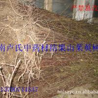 中药材种苗山茱萸结果苗树龄6年粗度2-5公分高度3.5-4米