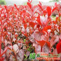 日本红叶乔木紫薇市场商机无限