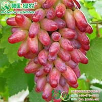 红手指葡萄原名红乳葡萄果树苗木葡萄小苗江西绿农供应