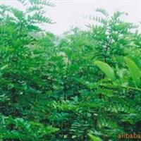供造林绿化畜牧饲料的多功能树种——大叶速生槐树苗、种根