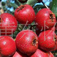 大量低价供应优质嫁接山楂树苗批发山楂苗木