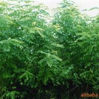 供畜牧造纸速生绿化多用途——超级速生槐树苗、种根