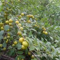 钙果苗中华钙果农大2号5号钙果种苗果树苗红钙果黄钙果
