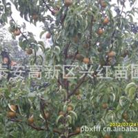 梨树苗批发黄金梨树树苗梨树苗哪里好潍坊哪里有优质梨树苗卖