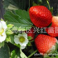 种苗出售甜宝草莓苗甜宝草莓苗价格西藏拉萨草莓苗拉萨果树