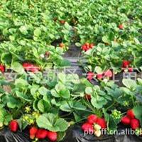 福建三明哪里有卖草莓苗三明哪里有可以买到优质红颜草莓原种苗