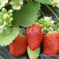 供应福建草莓苗适合福建等地区种植的章姬草莓苗福建草莓苗价格