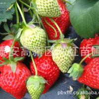 批发邢台草莓苗邢台最适合种植草莓苗2013年邢台红颜草莓苗价格