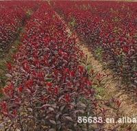 红叶石楠近代绿化产品用量最多的自繁自育