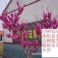 紫荆庭院家庭学校绿化中欣赏最好的品种