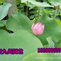 承接水体绿化工程供应水生植物盆栽荷花荷花苗荷花莲花苗