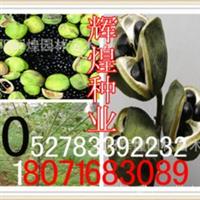 出售:文冠果种子(保质保量货到付款)