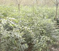 成都市郫县产2米高2-3cm朴树苗