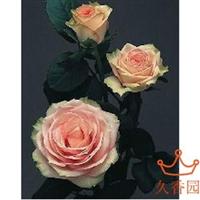 盆栽切花月季--玫瑰苗【心意】玫瑰花香水玫瑰花苗盆栽鲜花
