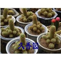迷你型仙人花卉(仙人指)预防辐射,吸收烟味,净化空气