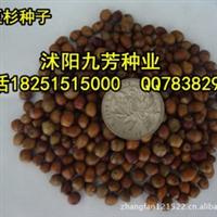 批发供应苗木种子红豆杉种子1-2年种收货直接播种