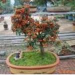 盆栽花卉植物精品室内高档盆景---百日红