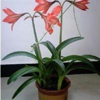 居室盆景花卉、朱顶红、柱顶红、对子莲