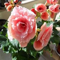 海棠花玫瑰海棠花四季秋海棠丽格海棠苗盆栽花卉