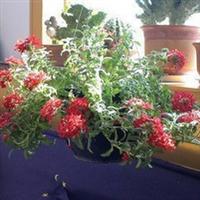 室内盆栽植物吊兰美女樱吊兰四季常青净化空气
