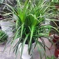 净化空气吸甲醛龙血树办公室内客厅大型盆栽植物观叶绿植盆景