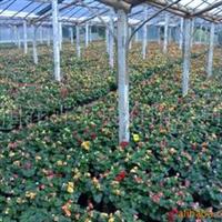 供应玫瑰海棠、蟹爪兰、蕨类植物、绿化苗木