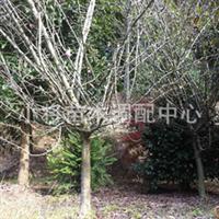 海棠3~12公分