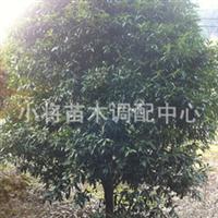 桂花12公分